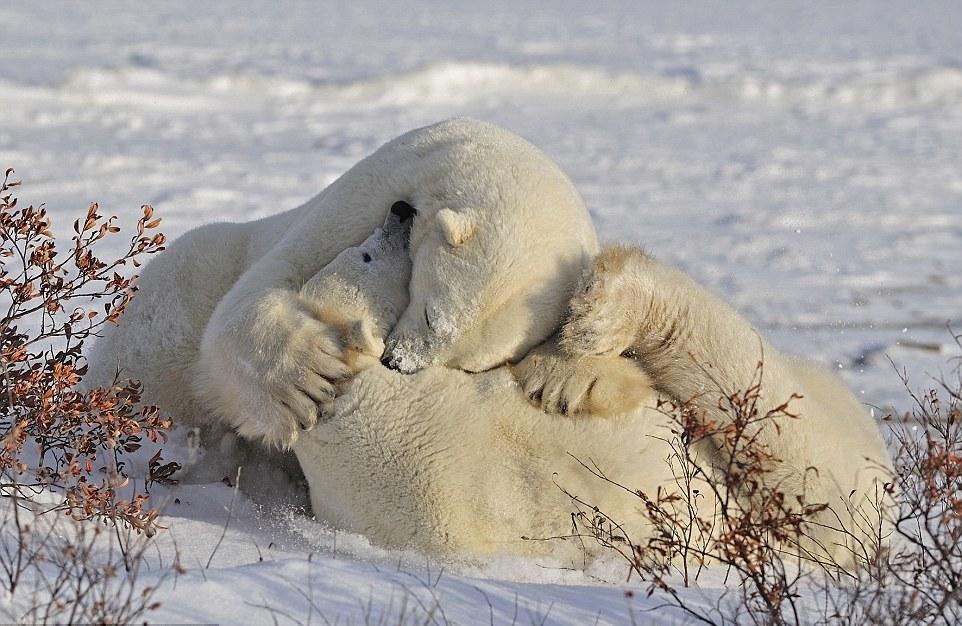 Картинки по запросу 10. Белые медведи – город Черчилл, Манитоба, Канада
