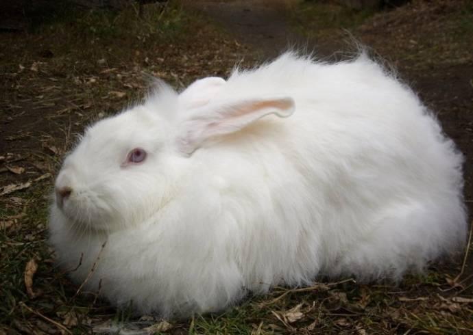 Бренд Zara отказался от ангорской шерсти из-за жестокого обращения с кроликами