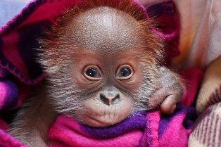 Звезда Берлинского зоопарка, орангутан Риеке переезжает в Великобританию