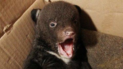 В цирке Владивостоке выхаживают подброшенного гималайского медвежонка