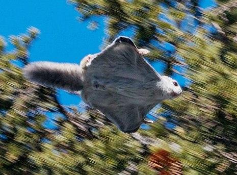 Челябинский фотограф сделал в Башкирии уникальные снимки белки-летяги