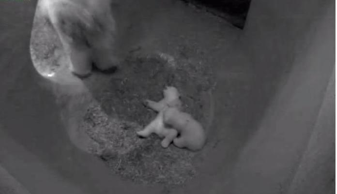 Белые медвежата-близнецы подрастают в зоопарке Роттердама
