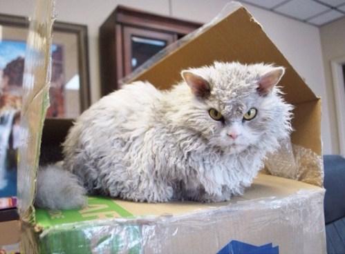 Суровый кот Альберт с шерстью как у овечки