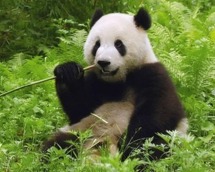 В Китае растет популяция больших панд