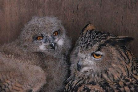 Московский зоопарк показал птенца филина