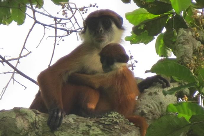 В лесах Конго засняли обезьяну, которую считали вымершей