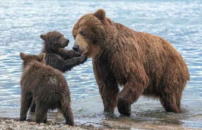 Фотограф заснял медвежат со своей мамой на Курильском озере