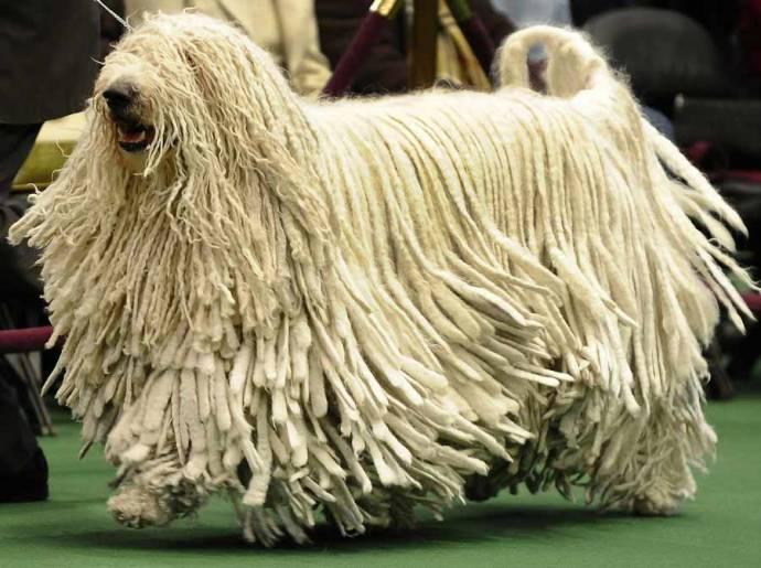 Комондор или собака с дредами