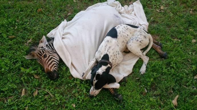 В Зимбабве пес выходил раненного зебрёнка