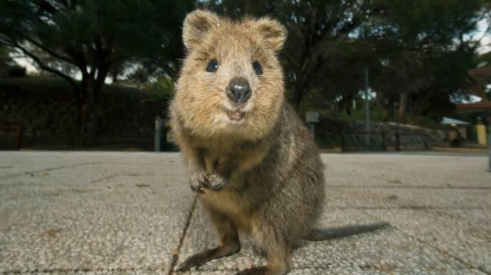 В Австралии за жестокую шутку над квоккой туристов оштрафовали на 4 тысячи долларов