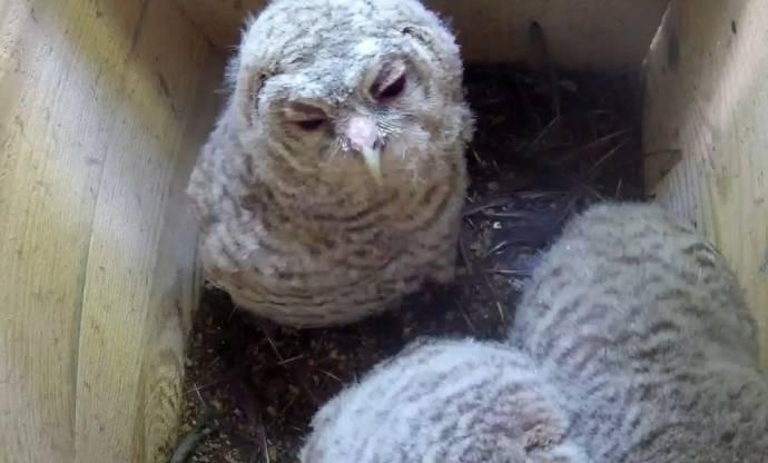 За семейством нижегородских сов можно понаблюдать онлайн