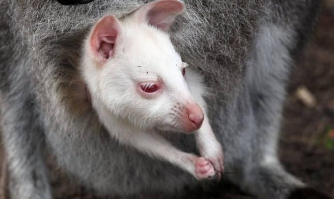 Белый кенгуренок из Ярославского зоопарка уже вылезает из сумки