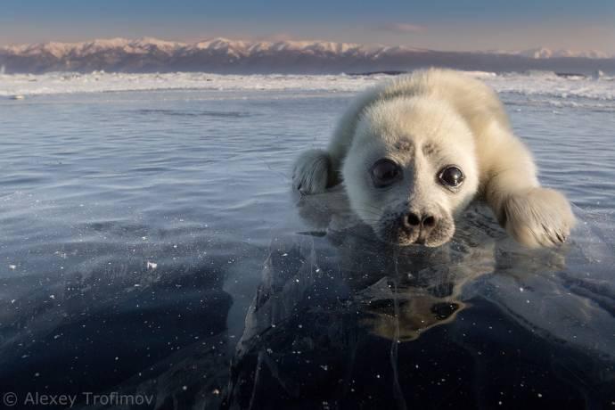Редкие снимки детеныша нерпы на Байкале