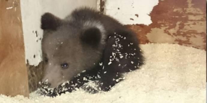 Медвежонка, найденного в Новой Москве, могут выпустить обратно в природу