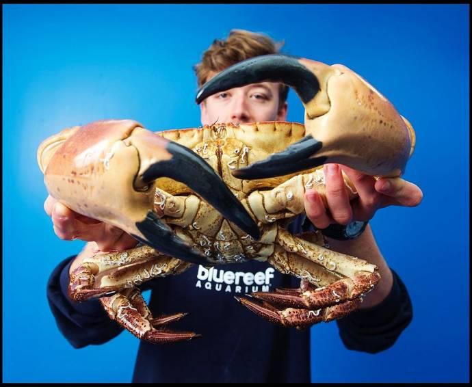 В британском океанариуме поселился огромный краб