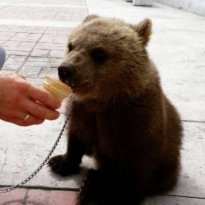 В Каменске-Уральском циркового медвежонка прохожие накормили мороженым