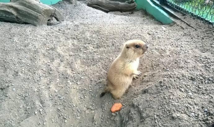В Красноярском зоопарке у сурков родились детеныши