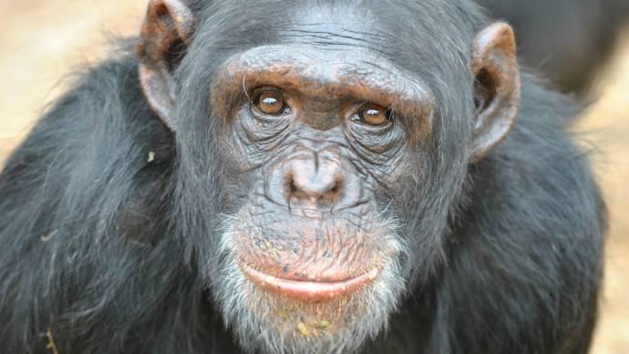 В США суд наделил пару шимпанзе правами человека