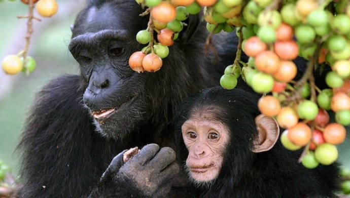 Эксперименты показали, что шимпанзе могут готовить пищу