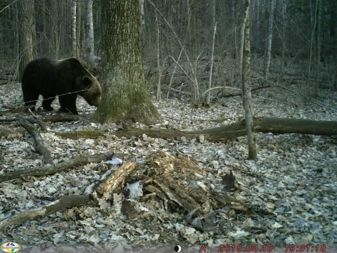 В заповеднике «Брянский лес» засняли медведя с редким «соломенным» окрасом