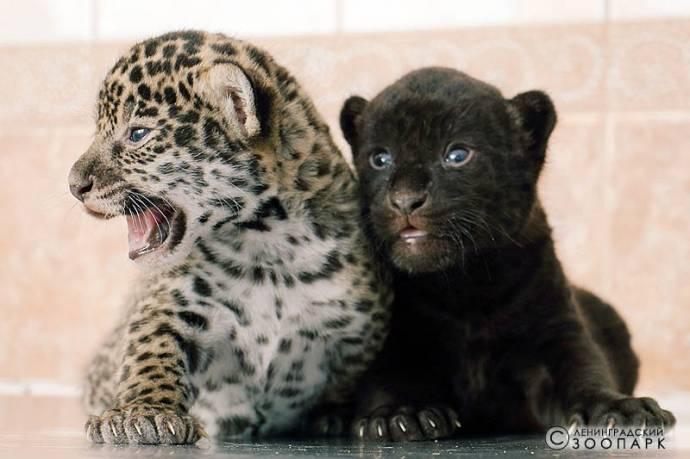 Два детеныша ягуара, обычный и черный, родились в Ленинградском зоопарке
