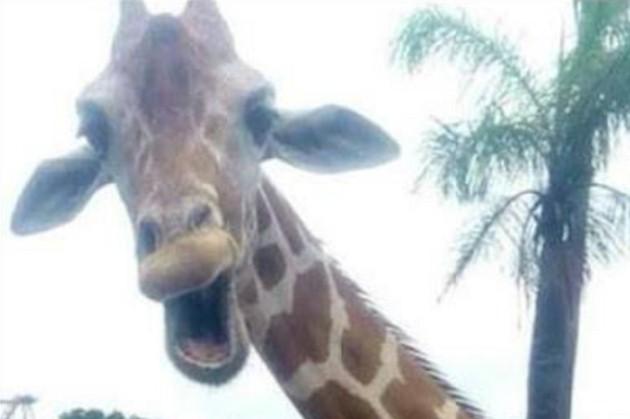 Смеющийся жираф попал на селфи ирландских туристов