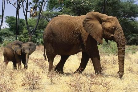 Кения поддержала проект сохранения популяции слонов
