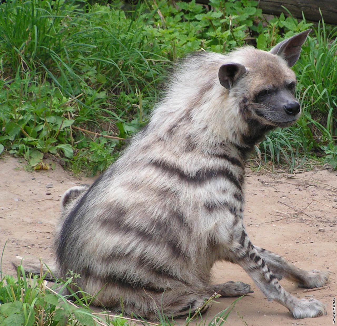Трусливая кавказская овчарка 17 фотография