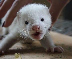Красноярский зоопарк показал детенышей американской норки