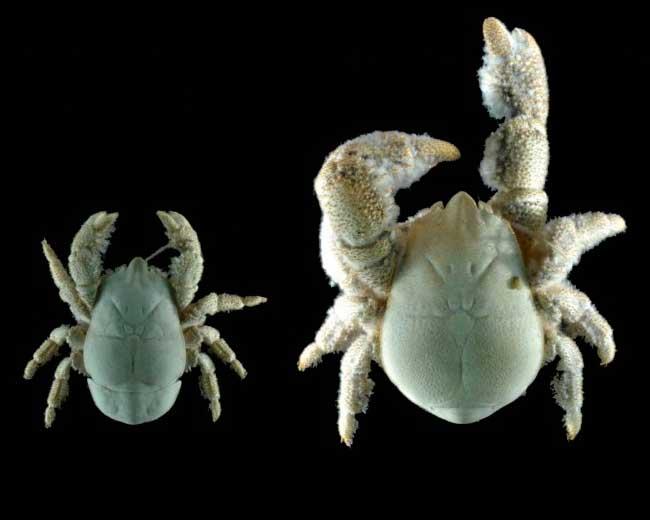 Группа ученых завершила исследование мохнатого краба-йети