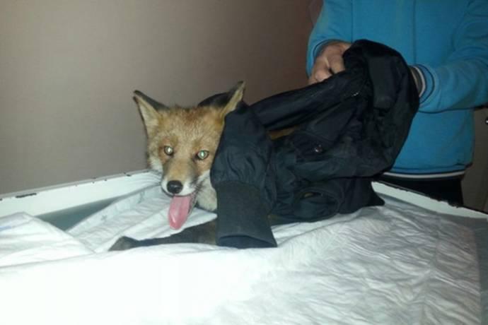 Под Мурманском мужчина спас сбитого лисенка