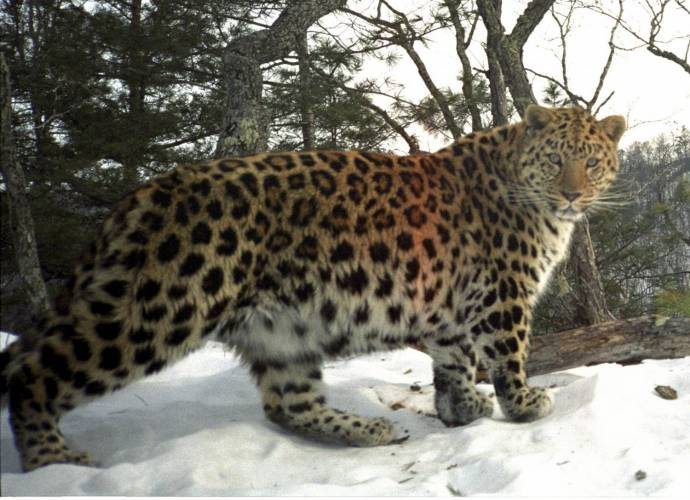 Редчайших дальневосточных леопардов поселят на новых территориях в Приморье