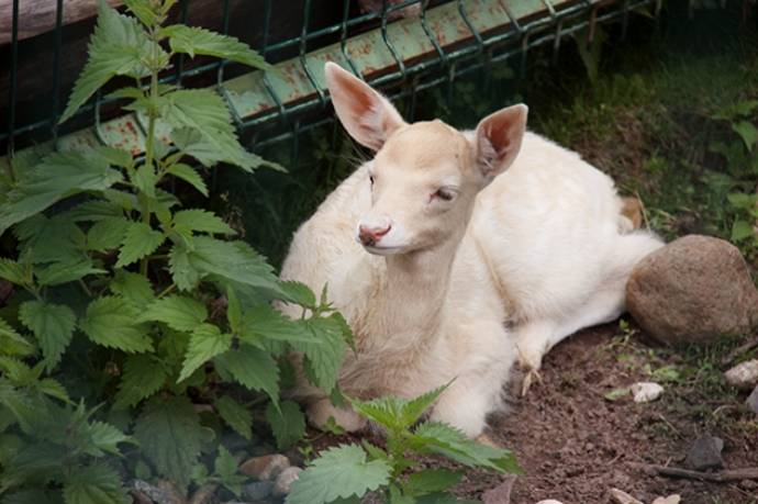 В зоопарке Ярославля у европейских ланей родился детеныш-альбинос