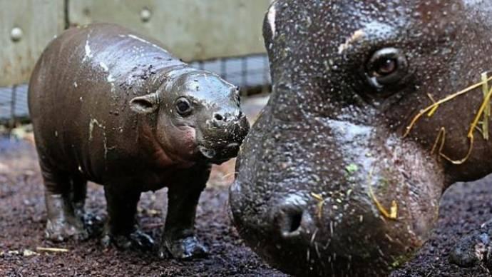 Детёныш карликового бегемота дебютировал в зоопарке Мельбурна