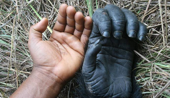 Рука шимпанзе оказалась совершеннее руки человека