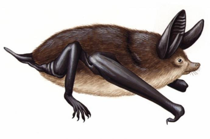 В Новой Зеландии в древности жила огромная летучая мышь