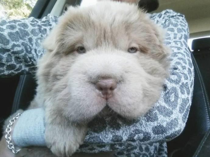 Щенок, похожий на медвежонка, стал звездой в Instagram