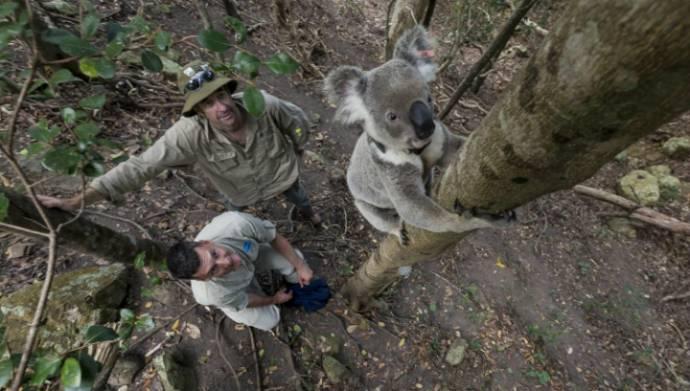 Ученые выяснили, что самцы коал в сезон размножения сильно шумят
