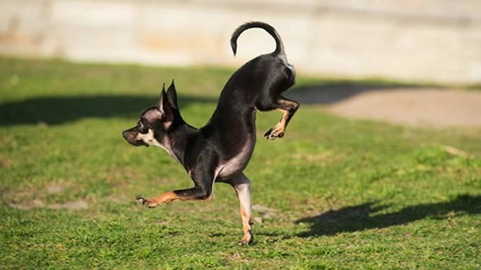 Калифорнийская собачка стала рекордсменом в беге на передних лапах