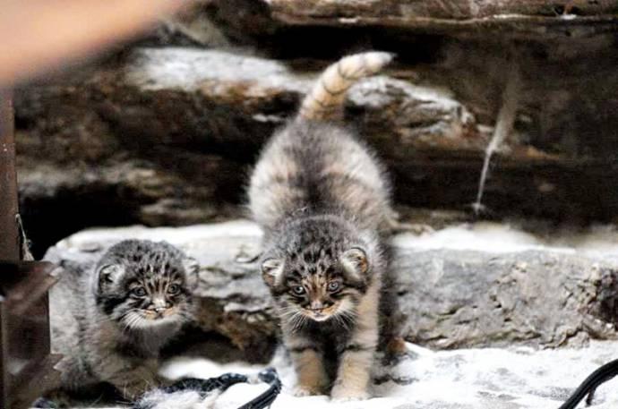 В Новосибирском зоопарке можно увидеть детенышей кота манула