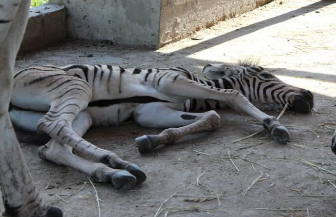 игры про зебр