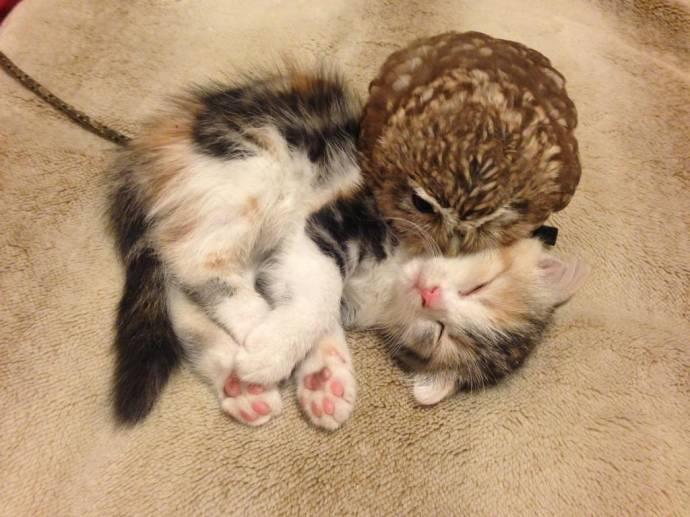 В японском кафе подружились котенок и сова