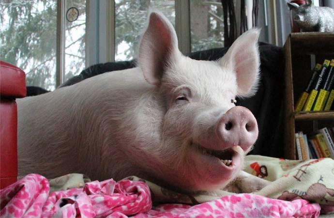 Свиньи оказались умнее собак и шимпанзе