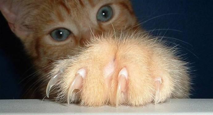 Биологи выяснили, что большинство кошек- левши и амбидекстры