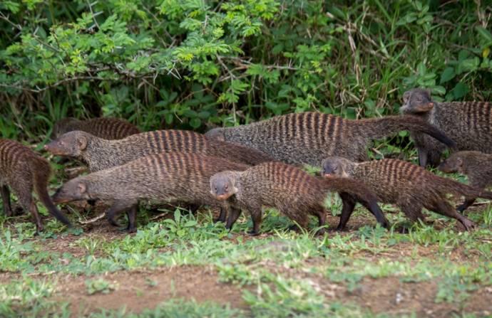 Самки полосатых мангустов часто ищут себе