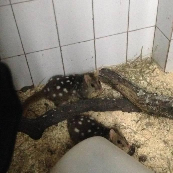 В Московский зоопарк из Лейпцига привезли редчайших сумчатых кволлов