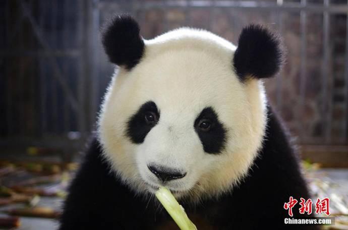 В китайском заповеднике Чэнду появились панды-двойняшки
