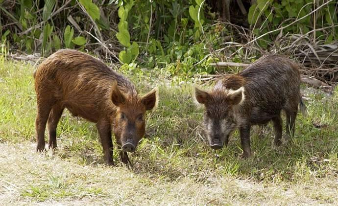 Дикие свиньи моют еду перед употреблением