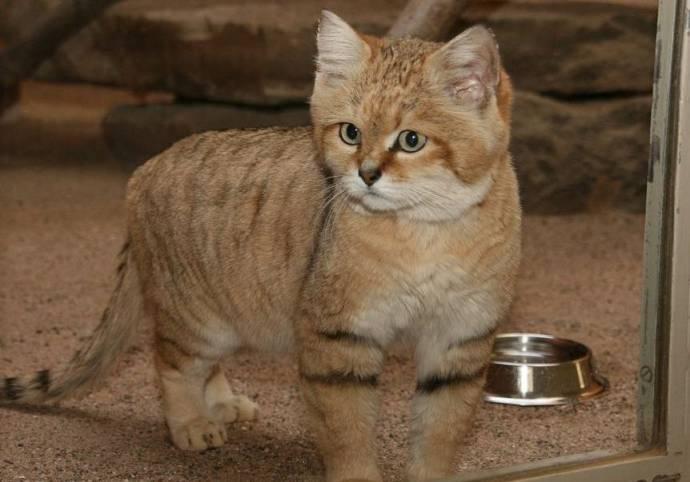 Зоопарк Новосибирска отправил барханных котов в США