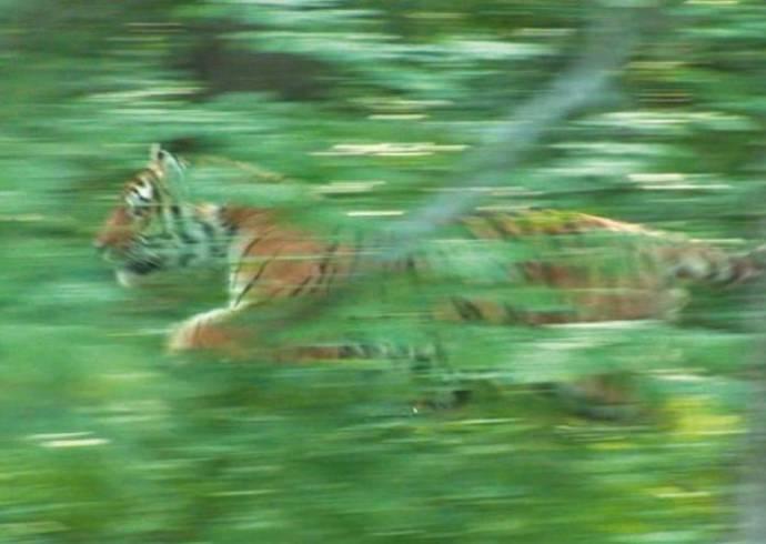 В Хабаровском крае выпустили в дикую природу тигра Упорного